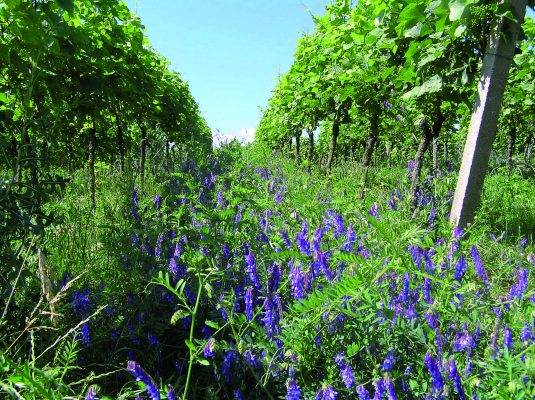 PVM Multi-annual vineyard mixture 3-4 years