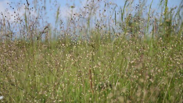 PVM-Grünlandmischung für natürliche Weiden