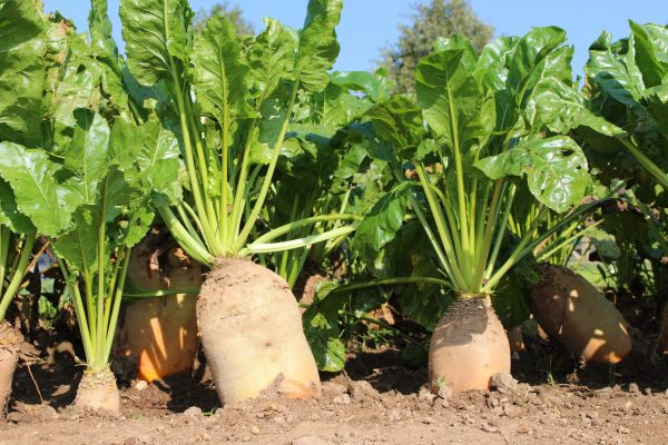Fodder beet Brigadier not disinfected